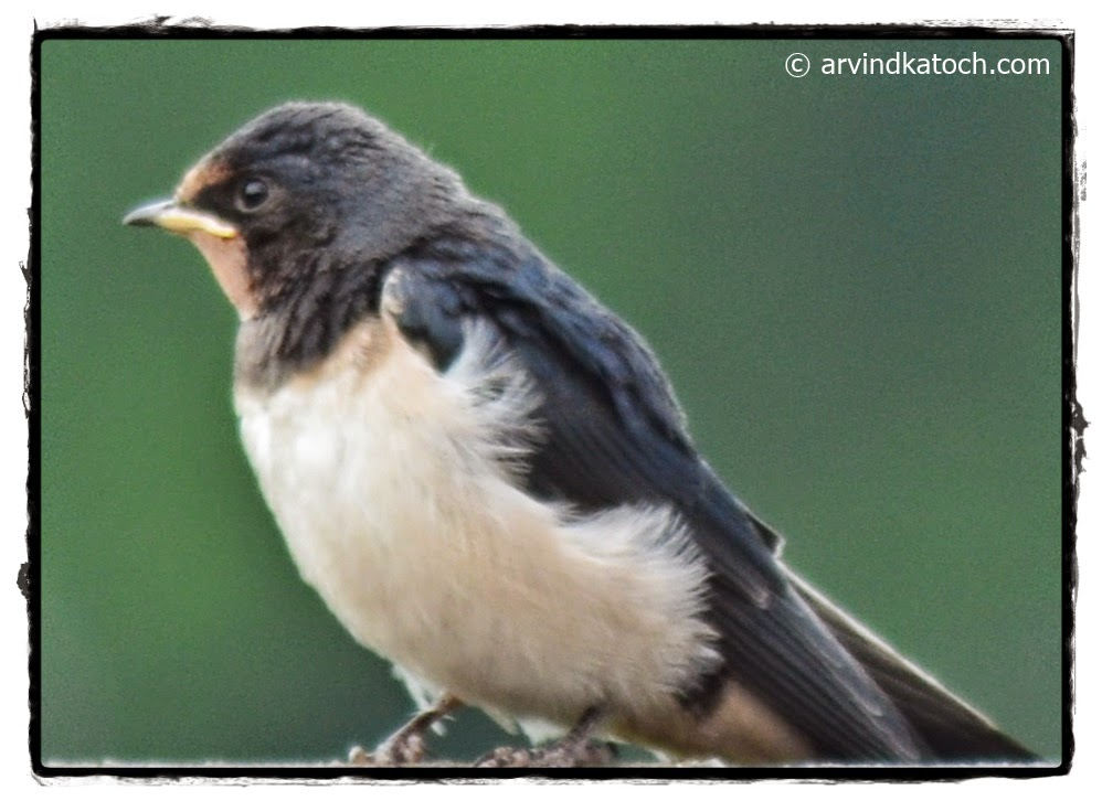 Indian Birds Photography and Details : Barn Swallow ...