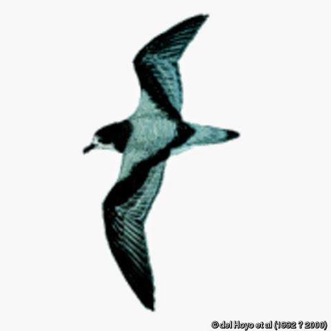 petrel de Mas Afuera Pterodroma longirostris
