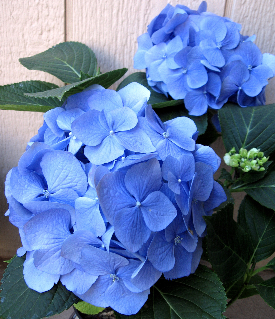 Blume Hortensie Flowers For Flower Lovers.: Hydrangea Flowers Pictures.