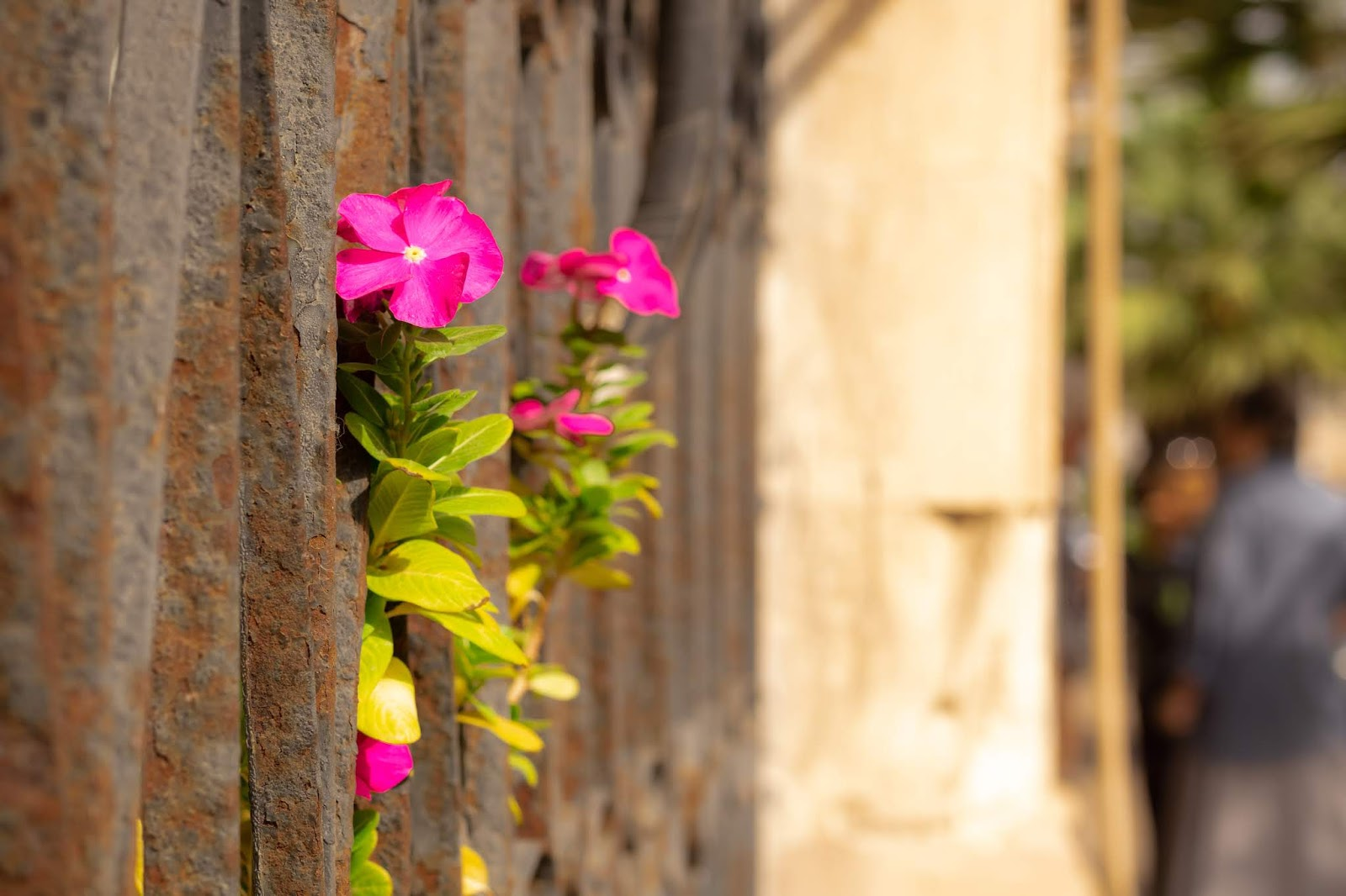 Flowers sticking out between bars on a street in Florentin in Tel Aviv.