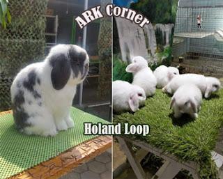 Kelinci jenis Holand Loop di ARK Corner