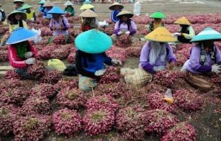 usaha budidaya bawang merah,budidaya bawang merah Brebes,pengolahan tanaman bawang merah