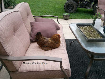 chicken on the couch
