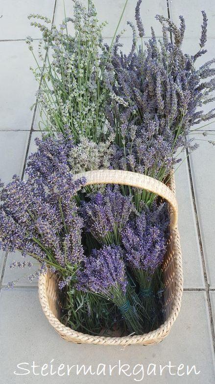 Lavendelernte-Steiermarkgarten