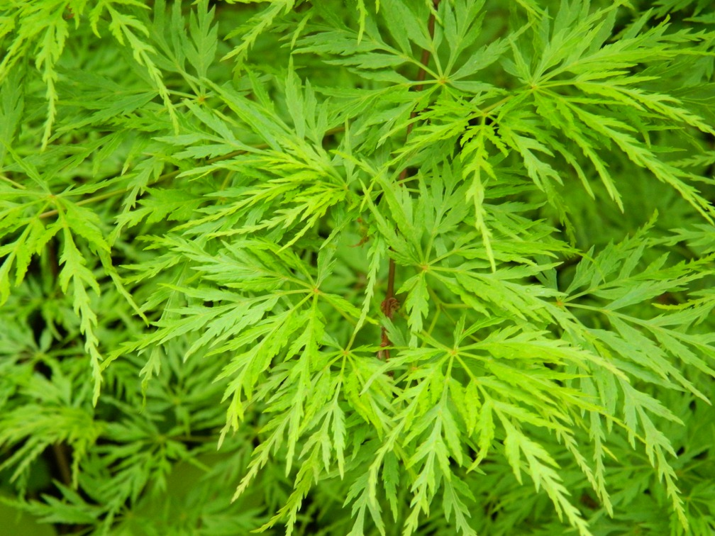 "Acer palmatum ""Seiryu"" Japanese maple spring foliage by garden muses: a Toronto gardening blog"