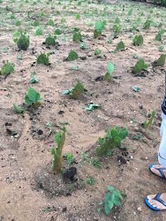 Palmas do programa campo sustentável começam a se multiplicar em Picuí