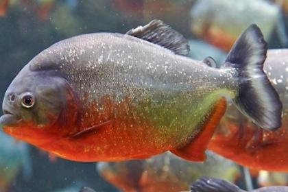 Cara Budidaya Ikan Bawal Di Kolam Terpal, Tembok, Tanah, Dll Terbaru 2019