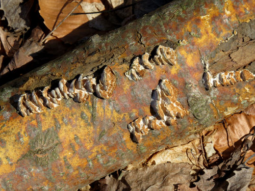 aspen bark with fungus