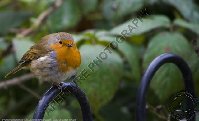 Robin sitting on a black metal fence