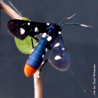Polka Dot Wasp Moth - Syntomeida epilais