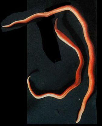 aschelminthes ascaris