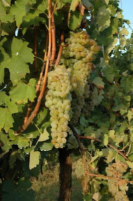 albana di romagna grapes of Emilia Romagna