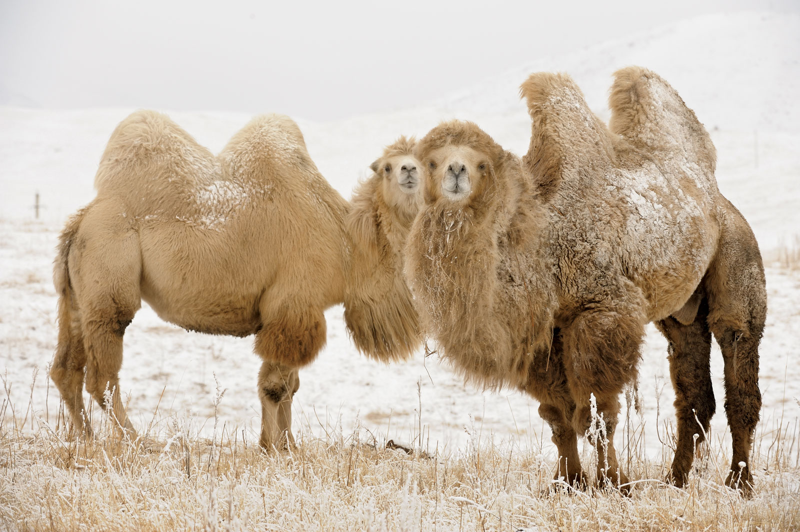 Bactrian camel | The Life of Animals