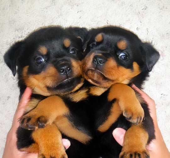 Vom Keiser Wappen Rottweiler Breeders Usa New Puppies Available