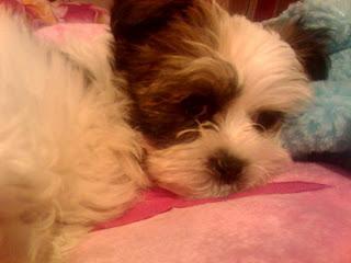 Chanel Paige - Chihuahua x Shitzu Puppy