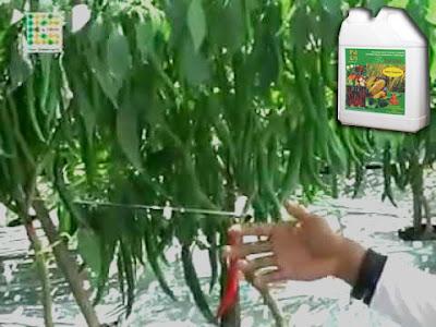 Meningkatkan Hasil Panen Cabai Dengan Pupuk Bioboost K-Link