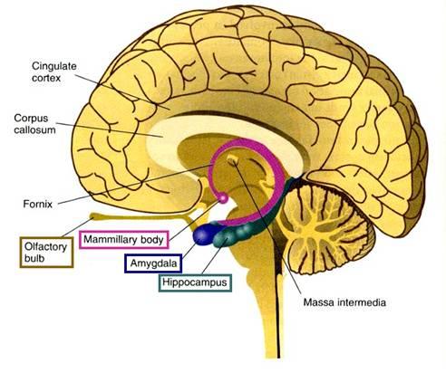 Notez On Nursing....: Brain Anatomy....Hippocampus