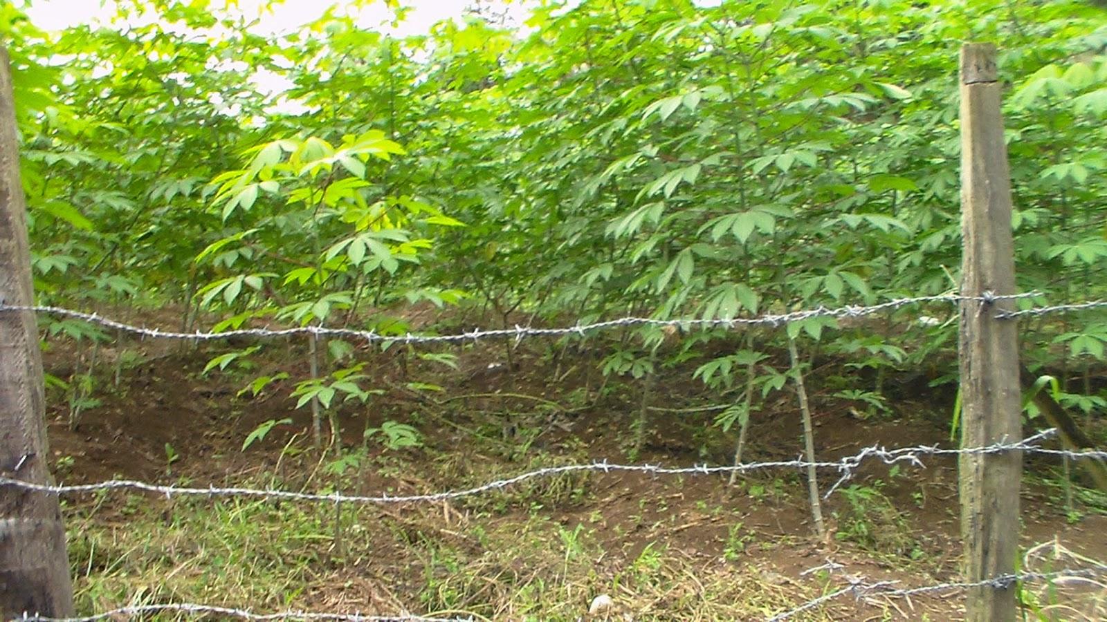 Pabrik Tepung Tapioka Pertanian Tanaman Pang...