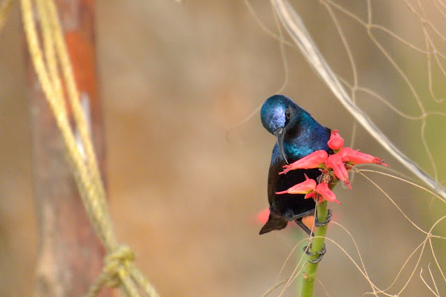Purple Sunbird Male Birds of samshernagar sundarban tourism