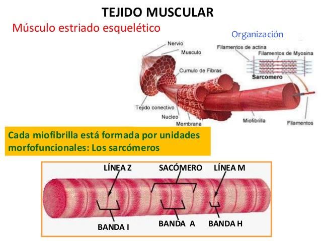 Tejido Muscular ~ Anatomia