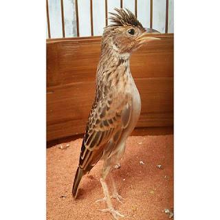 Burung Branjangan - Branjangan NTB yang cocok Untuk Burung Kicauan Rumah dan Masteran Burung Maskot