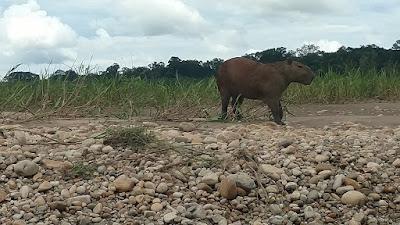 capybara on the riverbank