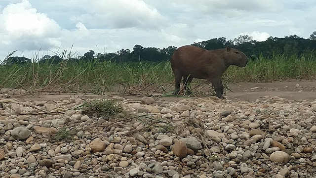 capybara on the riverbank