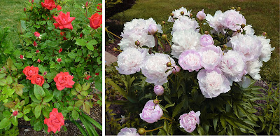 Knock-out Roses and Festiva Maxima Peony ©Toni Leland