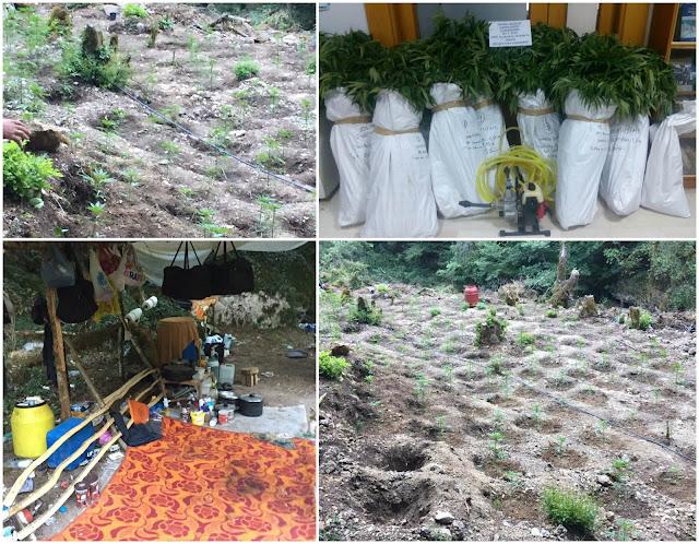 Ακόμη μία οργανωμένη φυτεία με 685 δενδρύλλια κάνναβης (+ΦΩΤΟ)