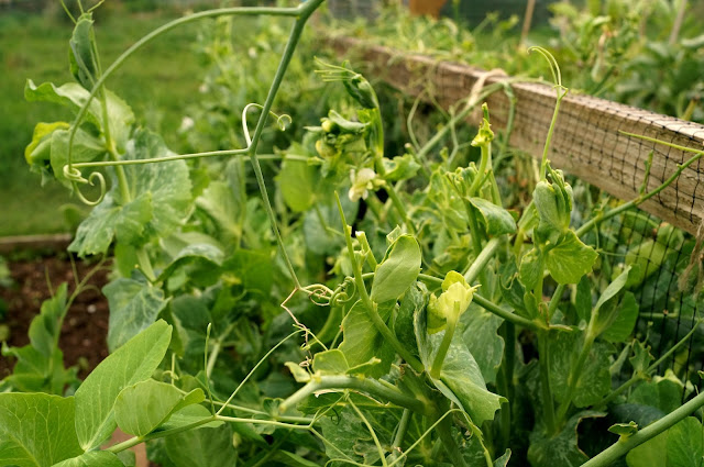 mangetout - 'growourown.blogspot.com' ~ an allotment blog