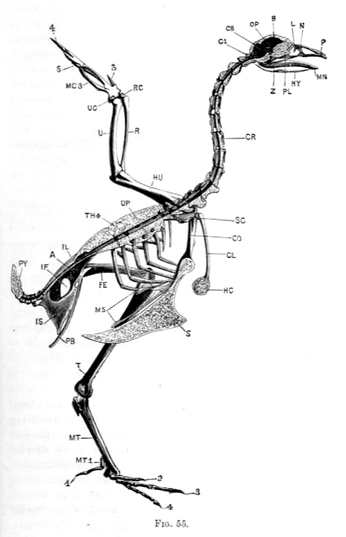 Left half of the skeleton, gallus bankiva var. domestica, The skull, vertebral column, and sternum are bisected in the median plane.