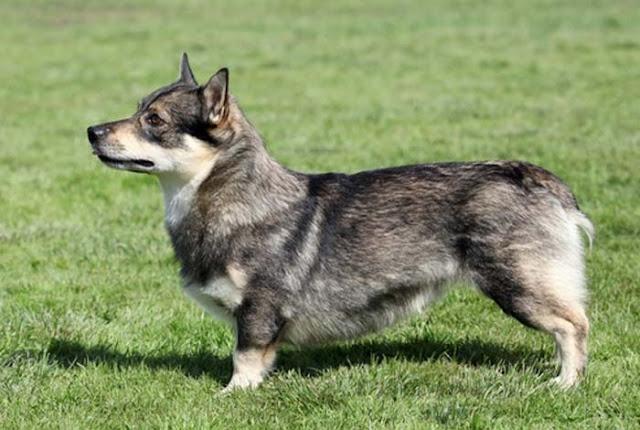 Giống chó Thụy Điển Vallhunt