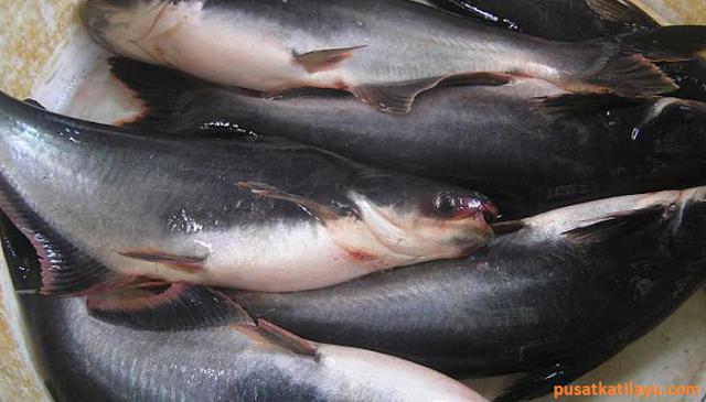 Resep Umpan Mancing Ikan Patin Di Kolam Hijau - Pusat Katilayu