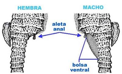 Hipocampo caballito de mar reproduccion asexual