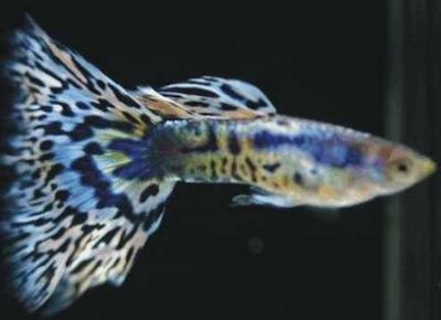 Harga Ikan Guppy Mozaic Tahun 2016 - 2017
