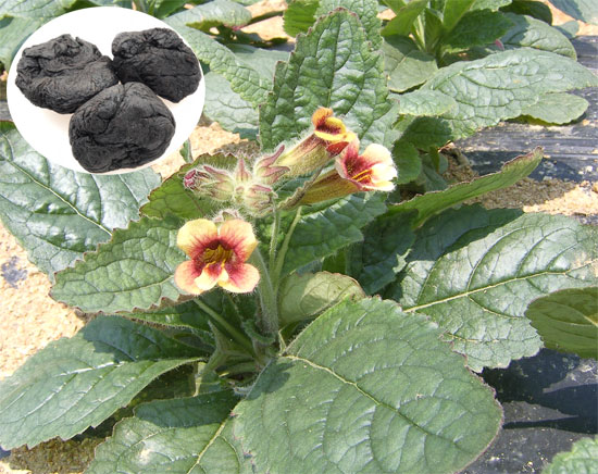 Cây địa hoàng: Rehmannia glutinosa