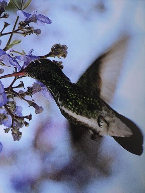 beija-flor, pássaros, vôo