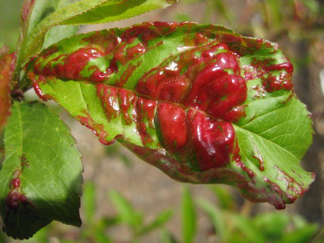 The Farmer Fred Rant Peach Leaf Curl Returns In 2012