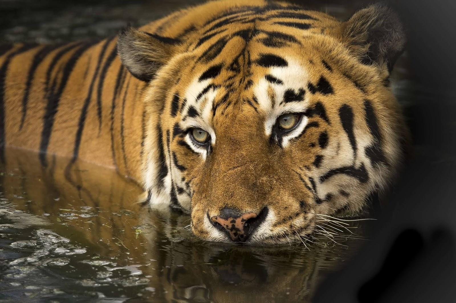 tiger hd wallpaper widescreen