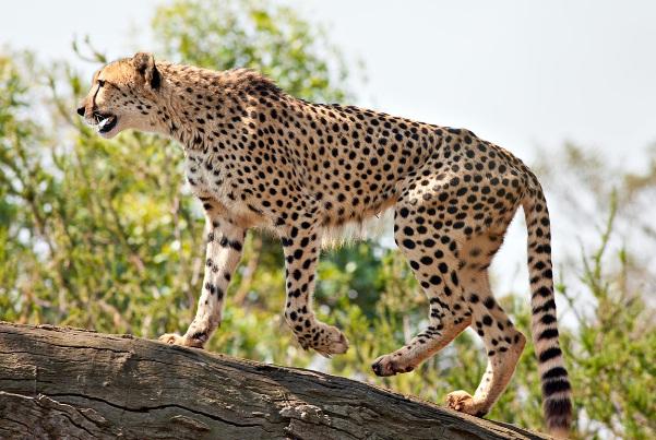 Cheetah, Binatang Dengan Rekor Lari Tercepat Di Dunia