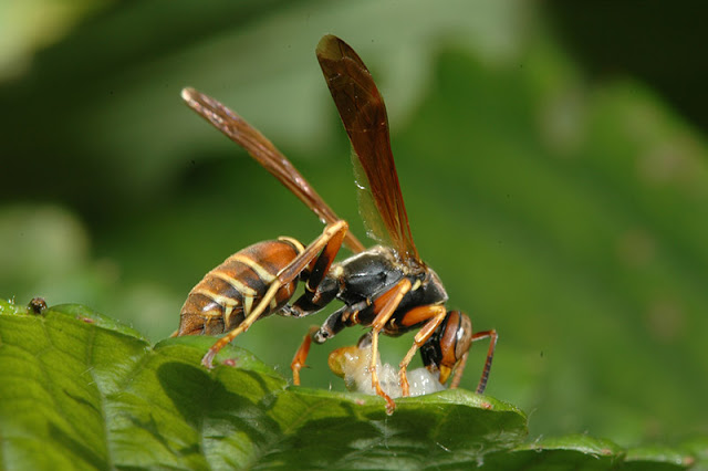 A Chemical In Wasp Venom Might Kill Cancer Cells And Leave Healthy Cells Alone