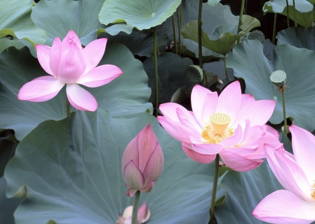 Pink-lotus-Wallpaper