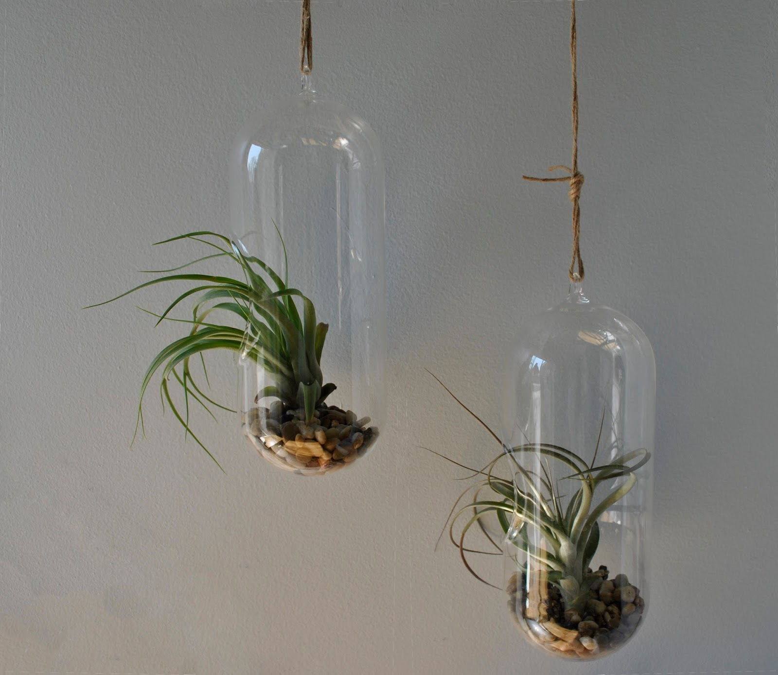 These Plants Are Two Diffe Kinds Of Tillandsia Which Just Need A Daily Spritz Water To Thrive They Hanging From Curtain Rod Hooks