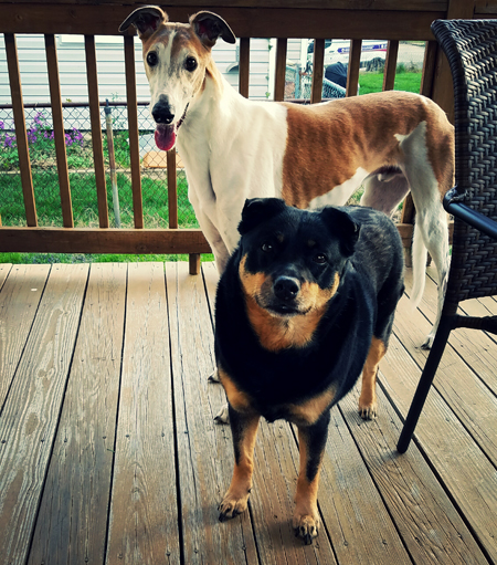 image of Dudley the Greyhound and Zelda the Black and Tan Mutt standing on Deeky's deck, grinning, their ears now in different positions