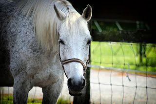 Flea-bitten grey horse with a striped head collar, standing next to a fence