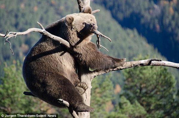 Nàng gấu to béo đứng vắt vẻo trên cành cây nhỏ suốt 3 tiếng mà cây không gãy