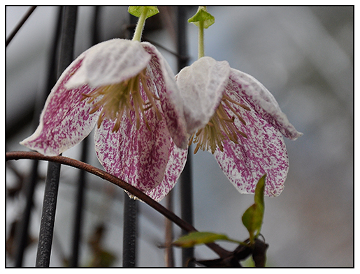 growing with plants winter blooming clematis. Black Bedroom Furniture Sets. Home Design Ideas