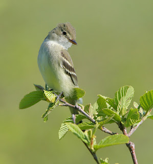Alfer Flycatcher, typical indivual