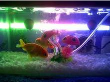 lampu untuk cara merawat ikan mas koki