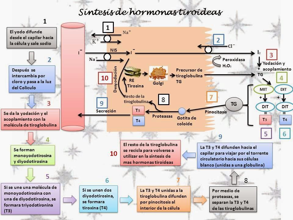 Leer sobre acelerador del metabolismo para adelgazar